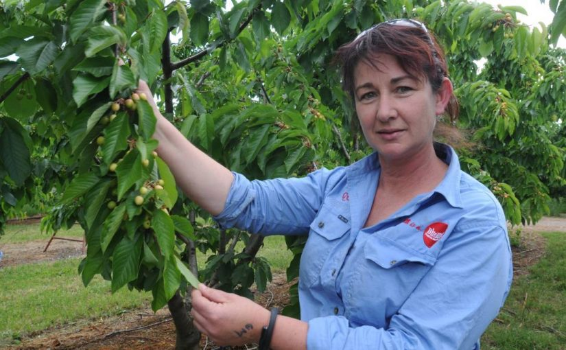 Media Source: Central Western Daily – Orange cherry company makes top three of NSW Farmer of the Year Awards